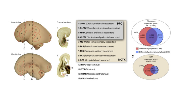 Functional and evolutionary insights into human brain development through global transcriptome analysis