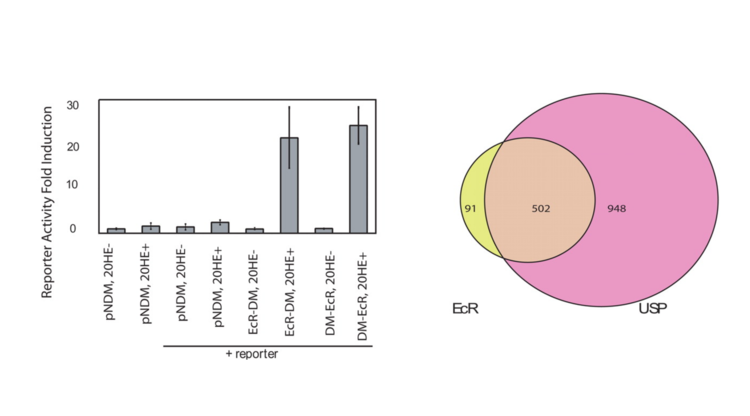Genomic mapping of binding regions for the ecdysone receptor protein complex