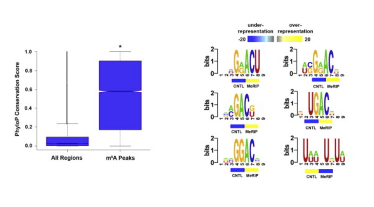 Comprehensive analysis of mRNA methylation reveals enrichment in 3′ UTRs and near stop codons