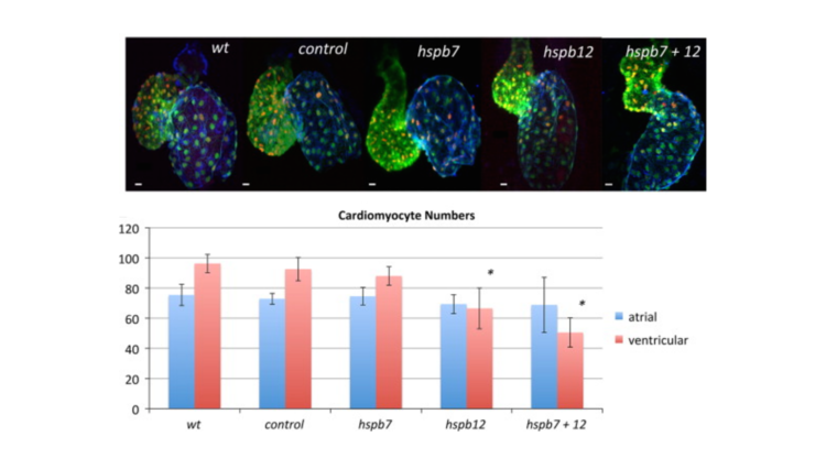 Small heat shock proteins hspb7 and hspb12 regulate early steps of cardiac morphogenesis