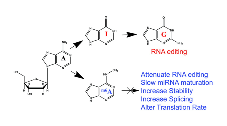 Novel RNA regulatory mechanisms revealed in the epitranscriptome