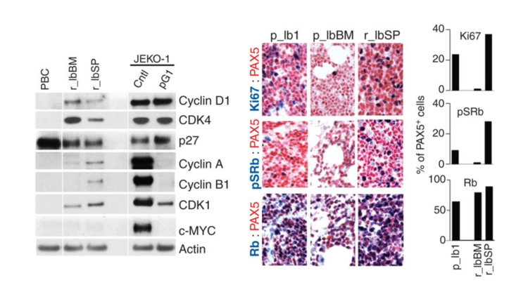 Cell-cycle reprogramming for PI3k inhibition overrides a relapse-specific c481s BTK mutation revealed by longitudinal functional genomics in mantle cell lymphoma